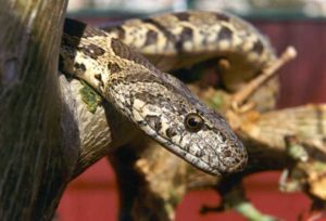 North Cyprus News - Blunt Nosed Viper