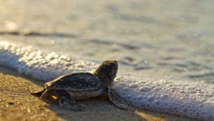 North Cyprus News - Caretta - Turtle
